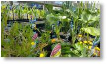 Large range of aquatics plants available at Buckingham Garden Centre