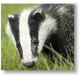 Badger's biggest threat is death in the roads