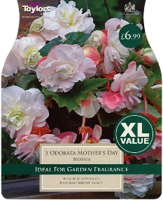 Begonias available at Buckingham Garden Centre