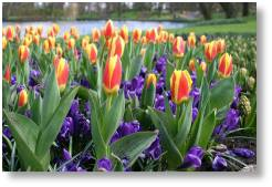 Spring bulbs available from Buckingham Garden Centre