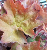 Heuchera'Walnut' available from Buckingham Garden Centre