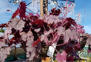 Heucherella 'Plum Cascade' available from Buckingham Garden Centre