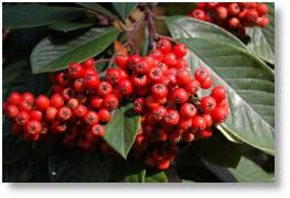 Cotoneaster 'Cornubia' availab le from Buckingham Garden Centre