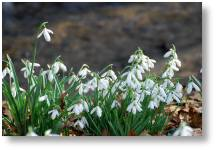 Evenley Wood Garden Snowdrop Weekends
