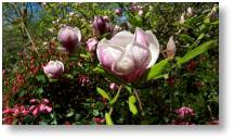 Magnolias at Evenley Wood Garden