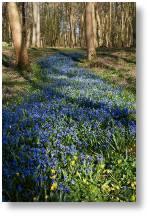 Scilla 'stream' at Evenley Wood Garden