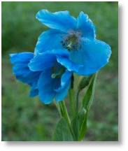 Himalayan blue poppy at Evenley Wood Garden