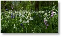 Bluebells at Evenley Wood Garden