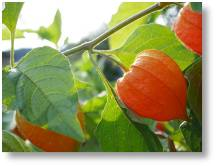 Chinese lanterns (Physalis)