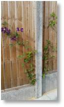 Clematis through a fence