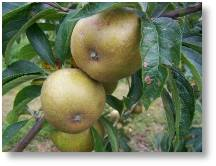 Brownlees' Russet identified for a customer by Gerry Edwards who will be at Buckingham Garden Centre's Apple and Honey Weekend