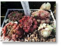 Sempervivium available from Buckingham Garden Centre