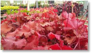 Heuchera Rio available form Buckingham Garden Centre