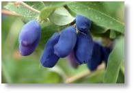 Honeyberries available from Buckingham Garden Centre