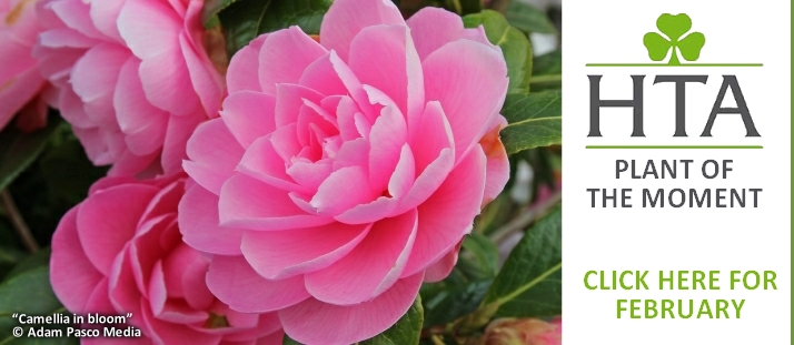 Cameillia in blolom - Plant of the month for February