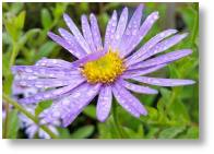 Island series Asters available from Buckingham Garden Centre
