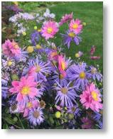 Aster Mönch available from Buckingham Garden Centre