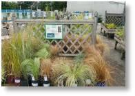 Large range of grasses available from Buckingham Garden Centre