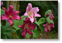 Evenley Wood Garden's Lily Festival Sunday 3rd July
