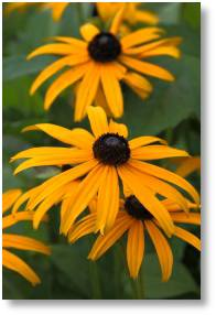 Rudbeckia available from Buckingham Garden Centre