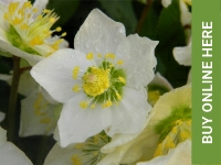 Christmas rose available to buy from Buckingham Garden Centre