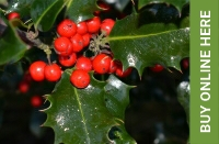 Holly available to buy from Buckingham Garden Centre