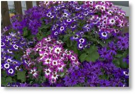 Senetti available at Buckingham Garden Centre
