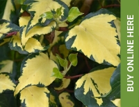 Ivy available to buy from Buckingham Garden Centre