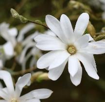 Magnolia Stellata - Plant of the Month - Buckingham Garden Centre