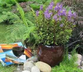 Hebe Merlot Memories - Plant of the Month - Buckingham Garden Centre