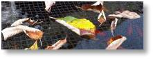Net your pond to keep leaves from fouling the water