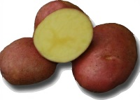 Mozart seed potatoes available at Buckingham Garden Centre