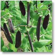 Saving purple pea seeds