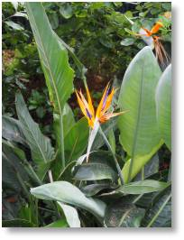 Strelitzia regina at Crossrail Place roof garden, Canary Wharf