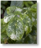 Mildew and Blackspot are common roses problems