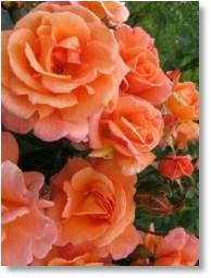 Rose Scent from Heaven available from Buckingham Garden Centre