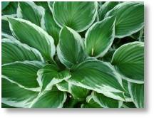 Hostas available at Buckingham Garden Centre