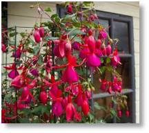 Climbing Fuchsia 'Pink Fizz' available at Buckingham Garden Centre