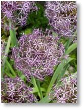 Allium cristophii available at Buckingham Garden Centre