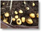 Seed potatoes are available now from Buckingham Garden Centre for planting now to harvest at Christmas