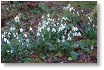 Galanthus Corcyrensis at Evenley Wood Garden