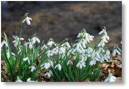 Snowdrops at Evenley Wood Garden