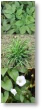 Ground elder, couch grass and bind weed