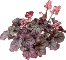 Heuchera 'Sugar Berry' available from Buckingham Garden Centre