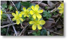 Winter Aconites available at Buckingham Garden Centre
