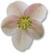 Helleborus ballardiae 'HGC Pink Frost' available at Buckingham Garden Centre