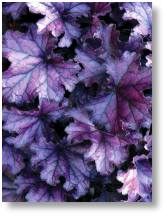 Heuchera 'Forever purple' available at Buckingham Garden Centre