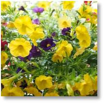 Calibrachoa - available in the Summer at Buckingham Garden Centre