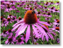 Echinacea available from Buckingham Garden Centre