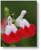 Salvia hot lips available from Buckingham Garden Centre